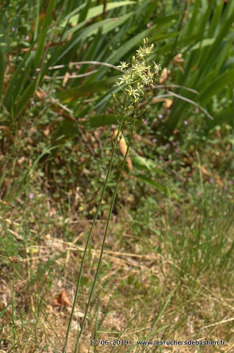 Plante fleurie de Loncomelos pyrenaicus cévennes