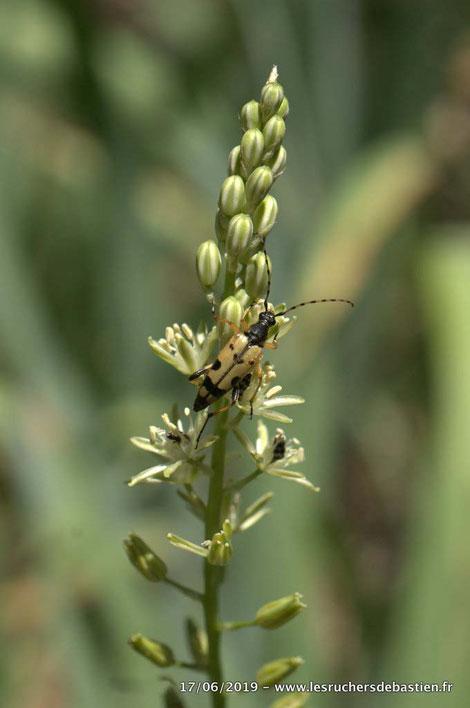 Rutpela maculata & Loncomelos pyrenaicus, Cévennes