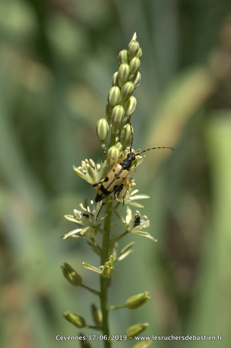 Coleoptere Rutpela maculata sur Loncomelos pyrenaicus Cévennes