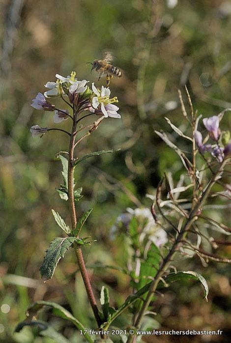 abeille Apis mellifera butine diplotaxis erucoides © nadine vilas