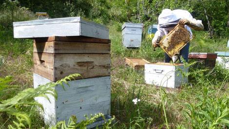 Un aperçu des cadres renseigne sur l'état de la ruche