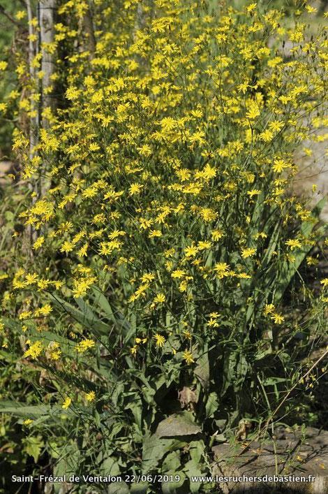 Plante Lapsana communis Cévennes Lozere