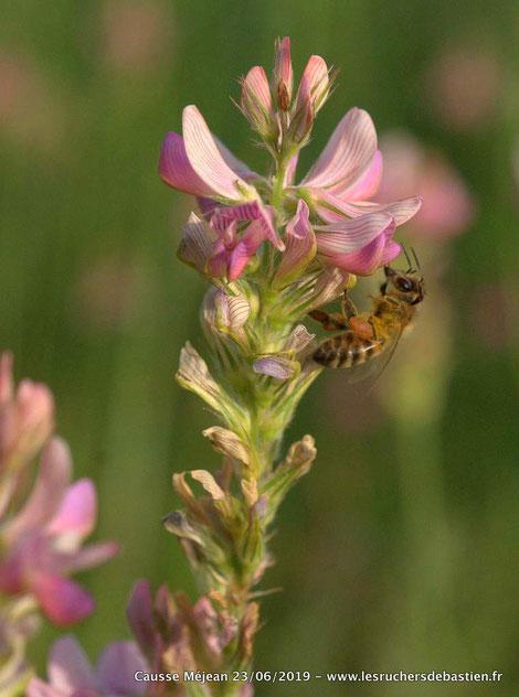 Apis mellifera et Onobrychis viciifolia Causses Cévenenes Lozère