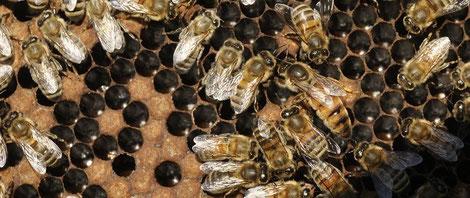 Reine et abeilles Les Ruchers de Bastien Cevennes