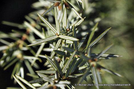 branche Juniperus oxycedrus