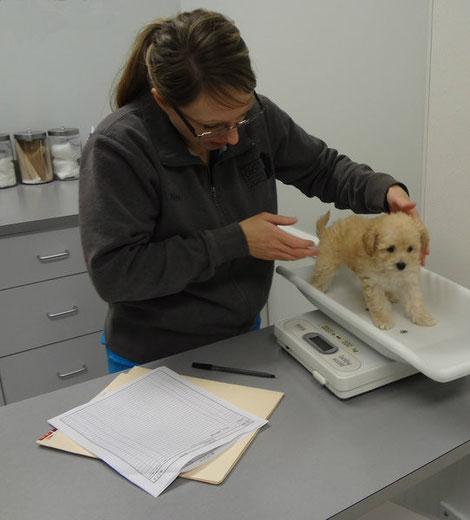 Nikki checking puppy's weight