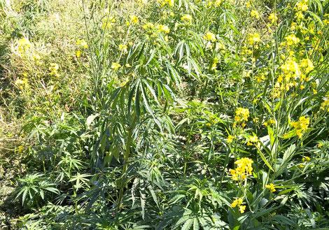 Wild Cannabis in Nepal (photo: Patrick Klapetz)