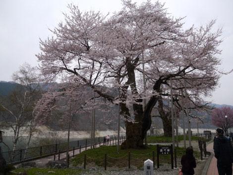 荘川桜もほぼ満開です。生命力を感じさせる大木ですね。