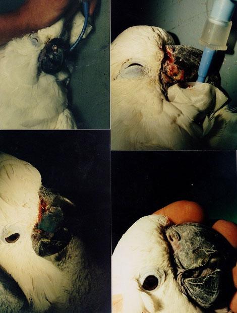 Schnabelverletzung eines Kakadus