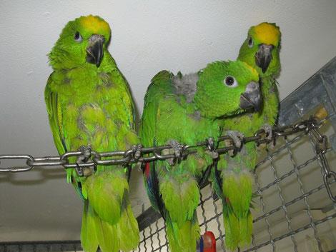 Papageienbabies - Von links: Einstein, Hugo und Mona