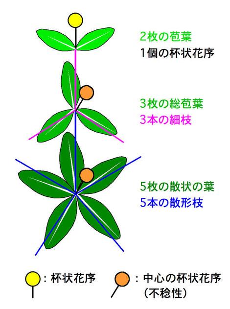 #8 ノウルシの模式図