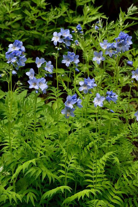 ミヤマハナシノブ 高山に咲き、葉がシダの仲間のシノブを思わせることからこの名があります