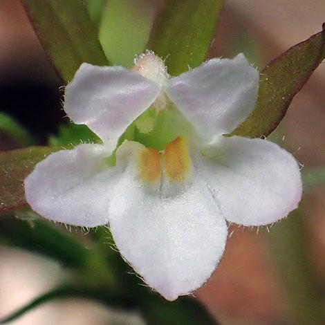 クチナシグサの花の上唇は2裂する。下唇は3裂し、中裂片の奥に黄色の隆起が2個ある