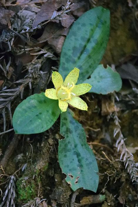 チャボホトトギス (矮鶏杜鵑草) ユリ科 ホトトギス属  花は一日花