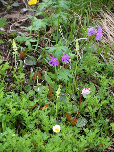 ハクサンコザクラ、イワカガミ、チングルマなどとともに咲くオゼソウ