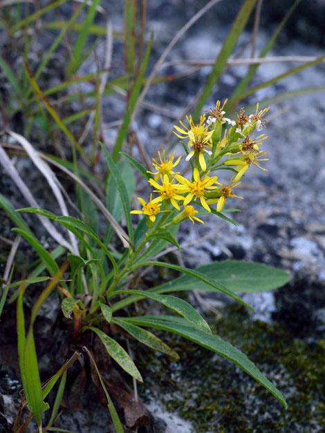 アオヤギバナ (青柳花) キク科 アキノキリンソウ属  川岸の岩上などに生えます