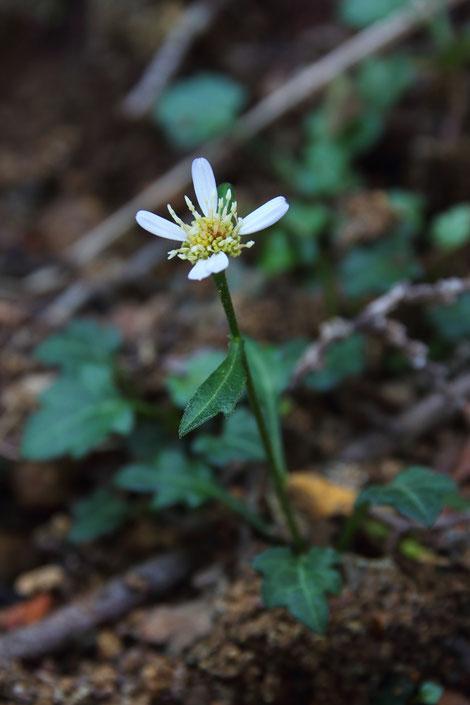 シュンジュギク (春寿菊) キク科 シオン属(通称アサマギク) 咲き残りの花
