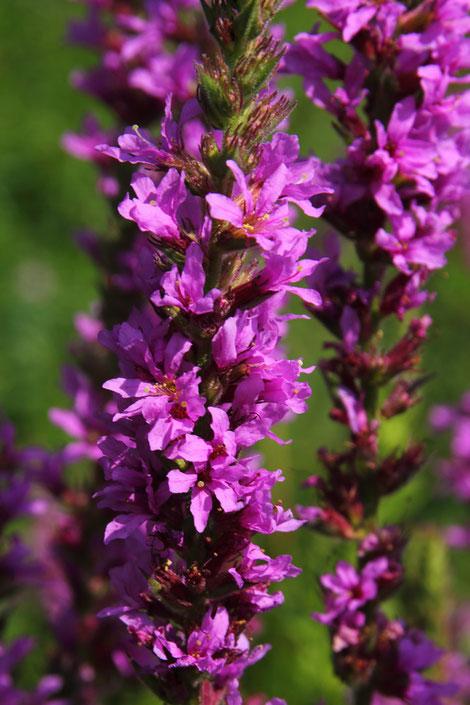 エゾミソハギの花