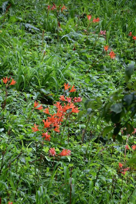 キツネノカミソリがたくさん咲いている場所があった