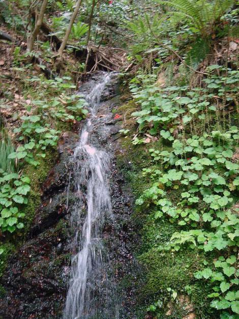 #2 コシノチャルメルソウが小さな滝の両岸に群生していた 2006.05.06 新潟県燕市