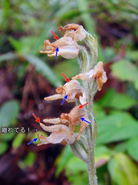 #13 ミヤマウズラの背萼片と側花弁が離れた