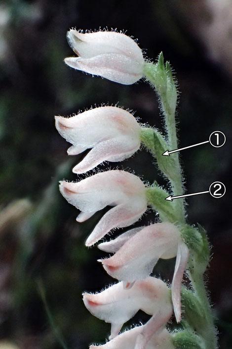 #6 ミヤマウズラの花の側面