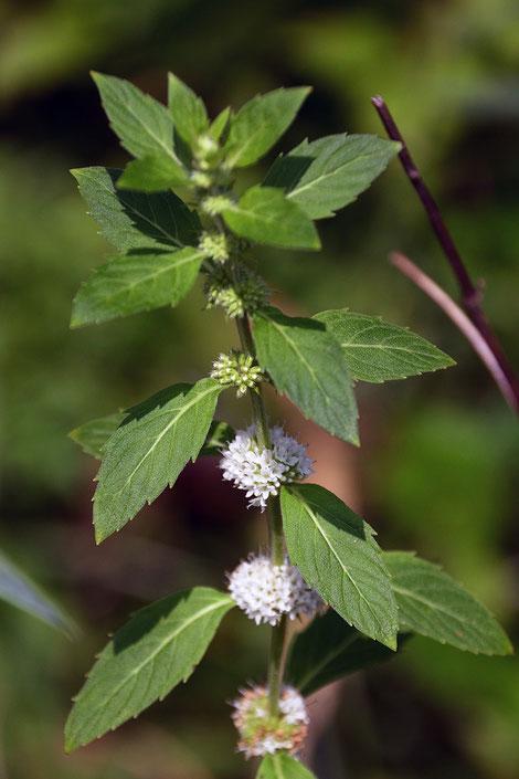 ハッカ (薄荷) シソ科 ハッカ属 花々が白色のタイプ  見頃