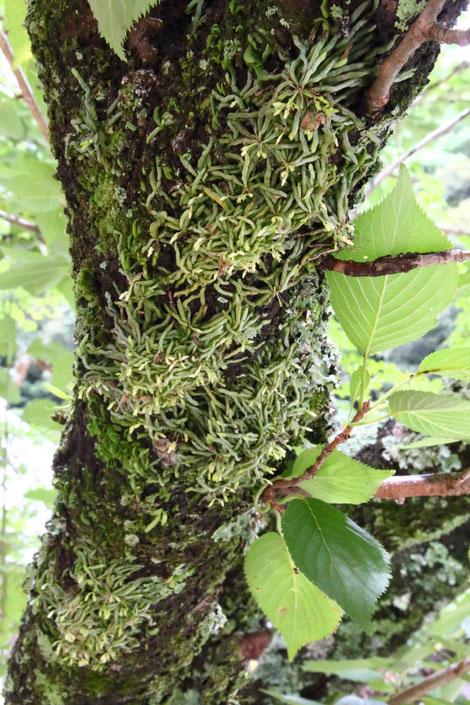 クモランが梅の木にビッシリついていた!