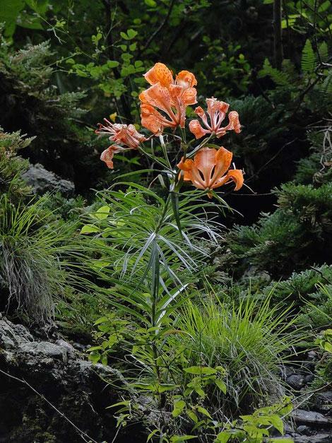 ミヤマスカシユリ  頭上10mに咲く花を見上げる