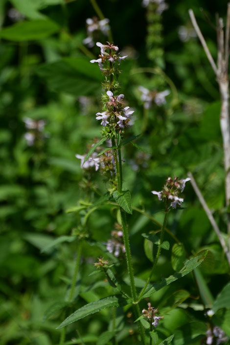 イヌゴマ (犬胡麻) シソ科 イヌゴマ属  花はほぼ終わり