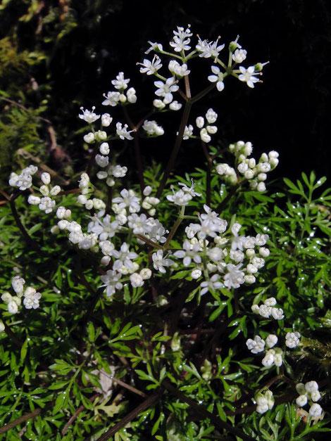 #5 ミヤマセントウソウの花