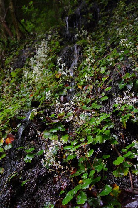 #2 ダイモンジソウの自生地は水が豊富な岩壁でした