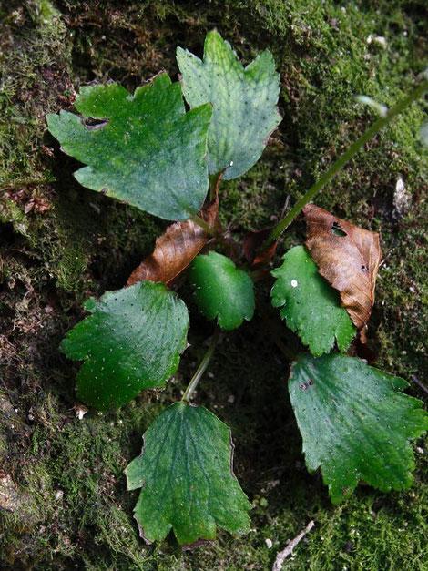 ウチワダイモンジソウの葉  図鑑には無毛とありましたが毛は少しあります