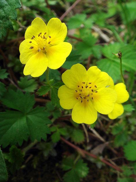 ツルキジムシロ 花だけ見るとキジムシロと区別は困難でした