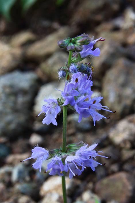 シマジタムラソウの花  2本の雄しべがまっすぐ花冠の外に突き出します