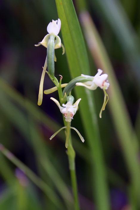 オゼノサワトンボの花 やや時期が遅かったせいか、側萼片が後方に反り返る