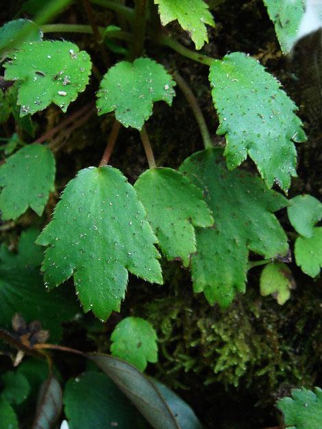 葉は長い葉柄があり、3〜7裂に浅裂〜中裂し基部はくさび形なのが特徴です。
