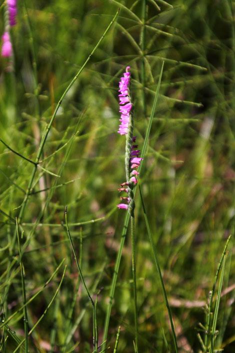 ネジバナ 数は多くはないが、湿原の広い範囲に咲いていた