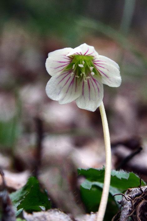 オオヤマカタバミの花。 白っぽい花弁に紅紫色のラインが映える