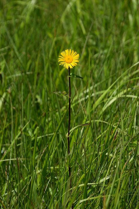 オゼミズギク  この時期尾瀬ヶ原ではよく目にする植物のようです