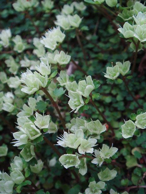 純白の萼片は、花後には緑白色に変化していました。これも味わいがあります!