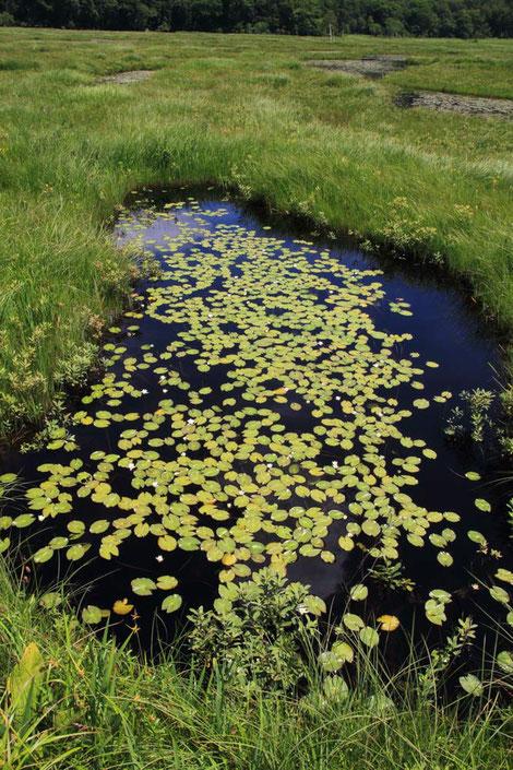 池塘の水面に浮かぶのはヒツジグサの葉  ポツポツと白い花が咲き始めた