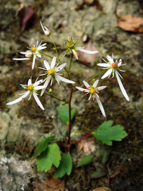 ウチワダイモンジソウ  葉の形が団扇に似ていることが名の由来です