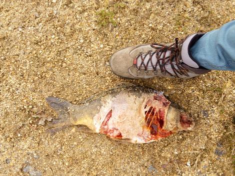Getöteter Karpfen von einem Fischräuber, zum Vergleich Schuh in Größe 41