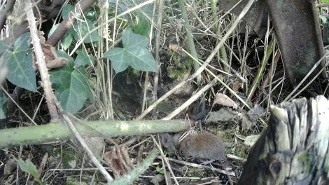Jeune campagnol roussâtre, de jour à 30 cm environ (avec loupe)