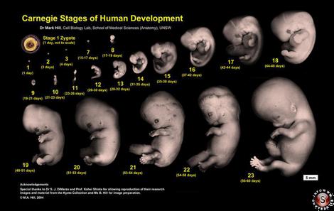 L'evoluzione genetica, dall'ovulo, fino al feto completo