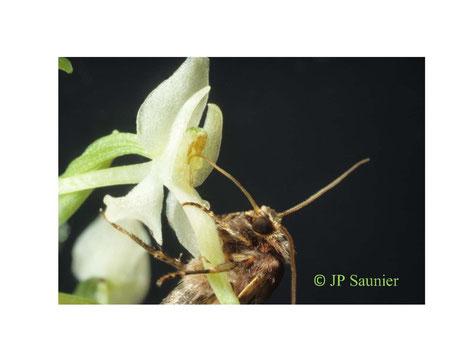 orchidées macrophoto
