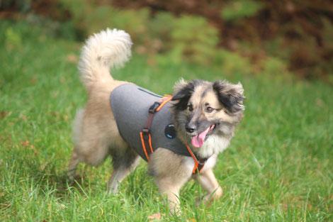 Hund läuft beim Gassi freudig über Feld