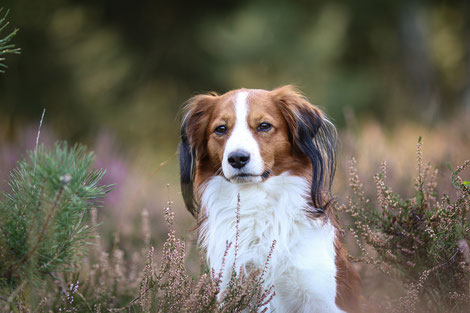 Hund Kooikerhondje Sammy in der Solinger Heide
