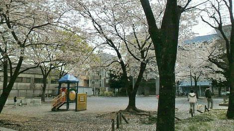 毎朝気功をやっている自宅マンション前の公園。桜満開の頃。